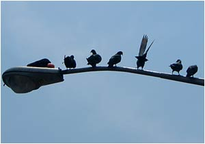 birds. On a Wire. But not a wire, more of a pole.